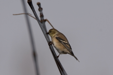 An American Goldfinch.