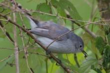 Blue-gray Gnatcatcher - Edwin M. Griffin Nature Preserve