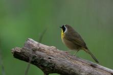 Common Yellowthroat - Edwin M. Griffin Nature Preserve